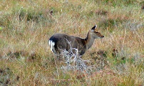 Sika Deer Hind